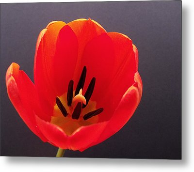 Red Tulip 4 Metal Print by Anna Villarreal Garbis