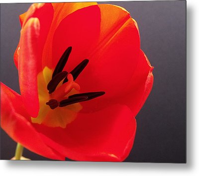 Red Tulip IIi Metal Print by Anna Villarreal Garbis