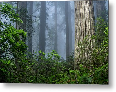 Redwoods In Blue Fog Metal Print by Greg Nyquist
