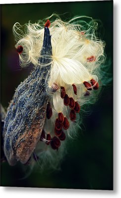 Release The Seed Milkweed Metal Print