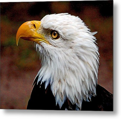 Reminiscent Bald Eagle Metal Print by Donna Proctor
