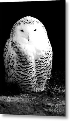 Resting Snowy Owl Metal Print by Darcy Michaelchuk