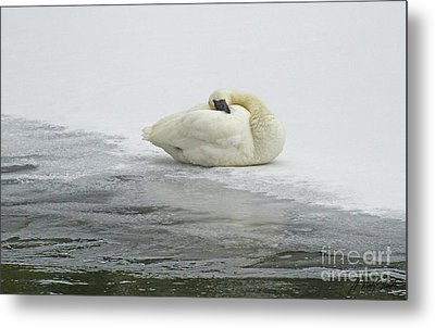 Resting Swan-signed-#1314 Metal Print by J L Woody Wooden