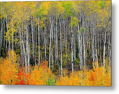 Return To The Aspen Forest Metal Print by Tim Reaves