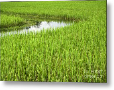 Rice Paddy Field In Siem Reap Cambodia Metal Print