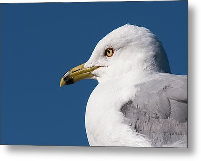 Ring-billed Gull Portrait Metal Print