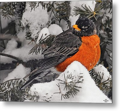 Robin In March Snowstorm In Michigan Metal Print