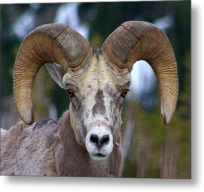 Metal Print featuring the photograph Rocky Mountain Bighorn by Jack Moskovita
