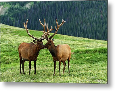 Metal Print featuring the photograph Rocky Mountain Elk 2 by Marie Leslie