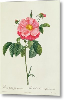 Rosa Gallica Flore Marmoreo Metal Print by Pierre Joseph Redoute
