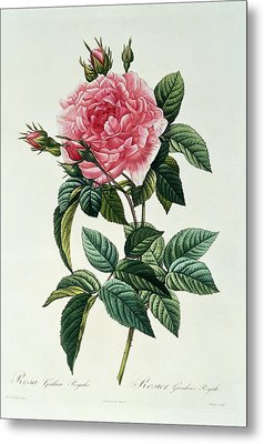 Rosa Gallica Regalis Metal Print by Pierre Joseph Redoute
