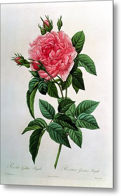 Rosa Gallica Regallis Metal Print by Pierre Joseph Redoute