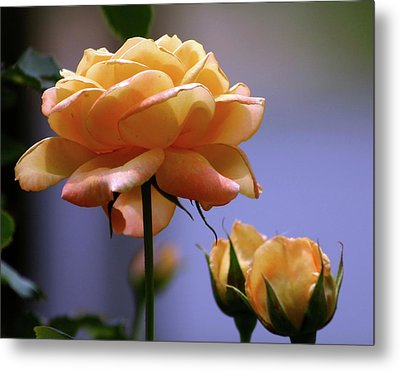 Rose 1156 H_2 Metal Print