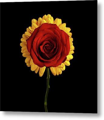Rose On Yellow Flower Black Background Metal Print by Sergey Taran