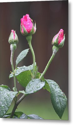 Metal Print featuring the photograph Rose Trio by Vadim Levin