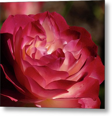 Rosy Closeup Metal Print