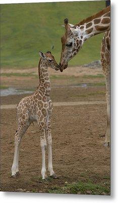 Rothschild Giraffe Giraffa Metal Print by San Diego Zoo