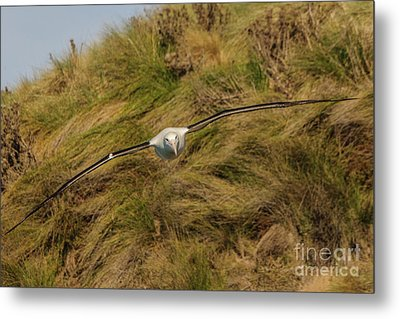 Royal Albatross 2 Metal Print by Werner Padarin