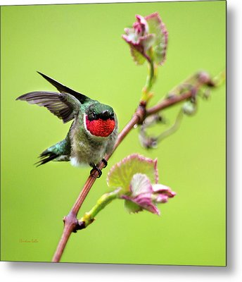 Metal Print featuring the photograph Ruby Garden Hummingbird by Christina Rollo