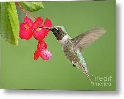 Metal Print featuring the photograph Ruby Throated Hummingbird Feeding On Begonia by Bonnie Barry