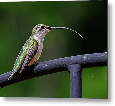 Ruby-throated Hummingbird Tongue Metal Print