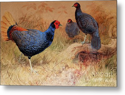 Rufous Tailed Crested Pheasant Metal Print