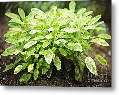 Sage Plant Metal Print by Elena Elisseeva
