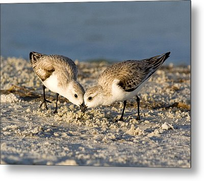 Sanderling Pair Metal Print