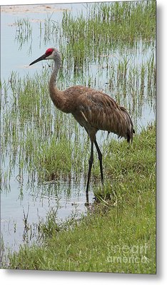 Sandhill In The Marsh Metal Print
