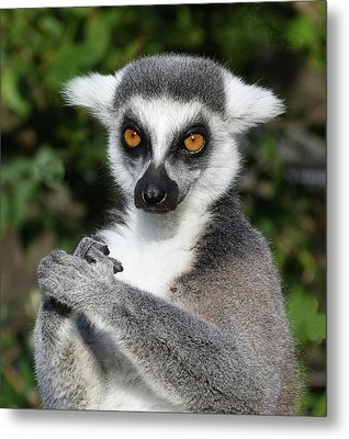 Satisfied Ring-tailed Lemur Metal Print