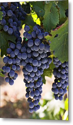 Sauvignon Grapes Metal Print by Garry Gay