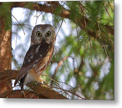 Saw-whet Owl Metal Print