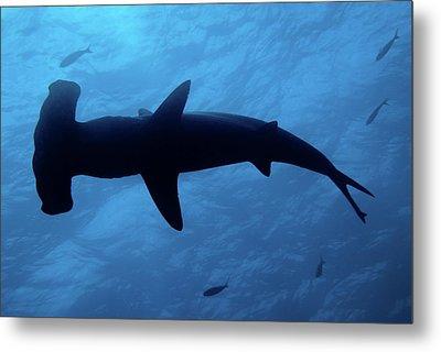 Scalloped Hammerhead Shark Underwater View Metal Print by Sami Sarkis