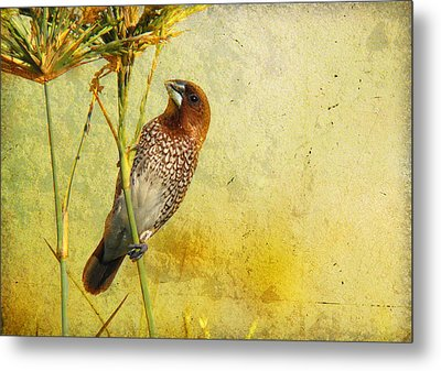Scaly-breasted Munia Metal Print