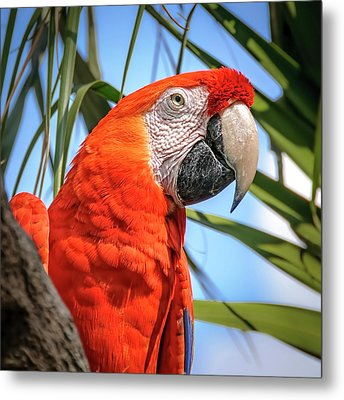 Metal Print featuring the photograph Scarlet Macaw by Steven Sparks