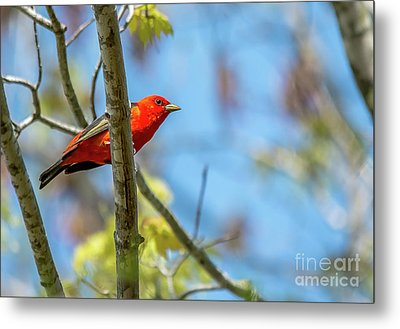 Scarlet Tanager Under A Blue Sky Metal Print