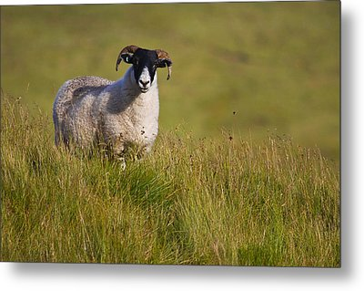 Scottish Blackface Sheep On Green Field Metal Print by Gabor Pozsgai