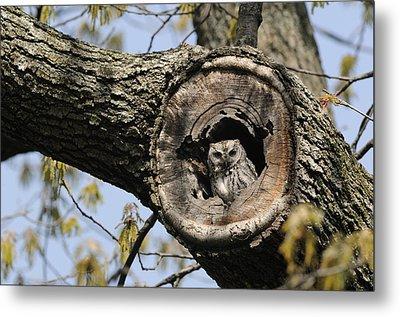 Screech Owl In A Tree Hollow Metal Print by Darlyne A. Murawski
