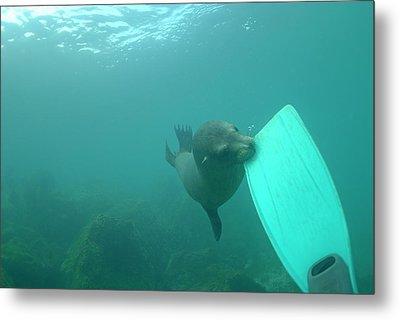 Sea Lion Biting A Diver Flipper Metal Print by Sami Sarkis