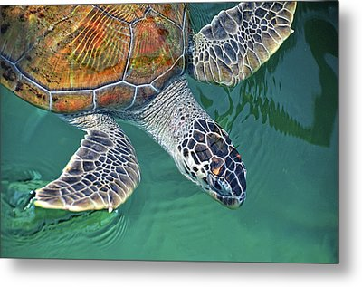 Sea Turtle Metal Print by Thank you.