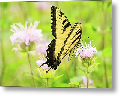 Series Of Yellow Swallowtail #4 Of 6 Metal Print by Joni Eskridge