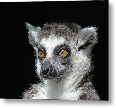 Serious Ring-tailed Lemur Metal Print