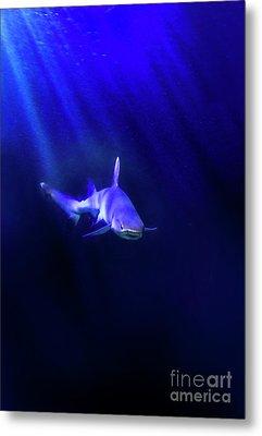 Shark Metal Print by Jill Battaglia