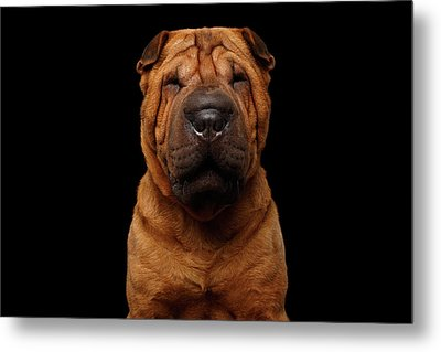 Sharpei Dog Isolated On Black Background Metal Print