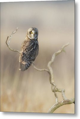 Metal Print featuring the photograph Short-eared Owl by Angie Vogel