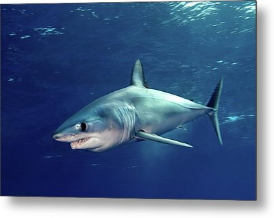 Shortfin Mako Sharks Metal Print by James R.D. Scott