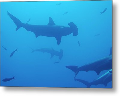 Silhouette Of Scalloped Hammerhead Sharks Metal Print by Sami Sarkis