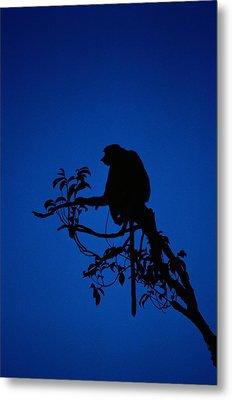 Silhouetted Proboscis Monkey Nasalis Metal Print by Mattias Klum