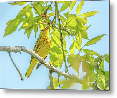 Singing Yellow Warbler Metal Print