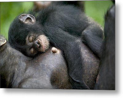 Sleeping Baby Chimpanzee Metal Print by Cyril Ruoso